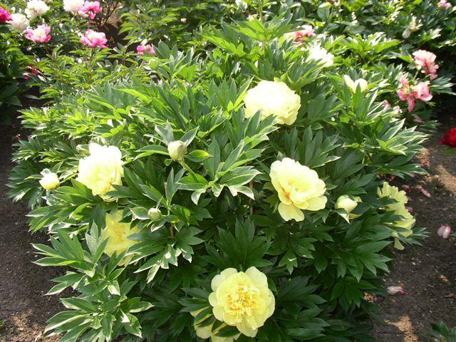 Awesome The First Barzellas We Had In Our Society Sale Fetched A Cool $500.00. That  Is The Most We Have Sold Any Peony.