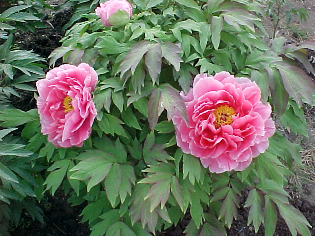 Peony Flowers And Leaves | Search Results | Fun Coloring Pages